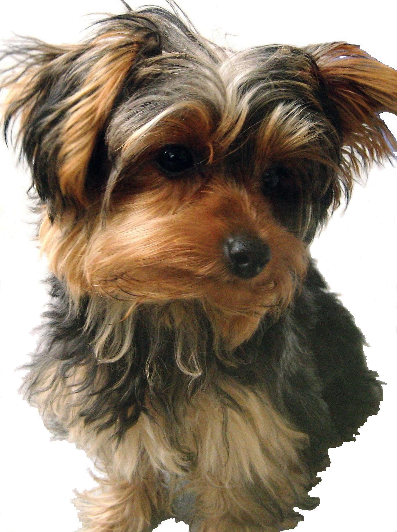 Archived aba :: the yorkshire terrier